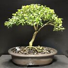 Bonsai Tree Kingsville Boxwood 12 Years Unglazed Vintage Pot With Chop Mar