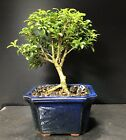 Bonsai Tree Kingsville Boxwood 10 Years Old Vintage Japanese Blue Glazed Pot