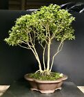 Bonsai Tree Kingsville Boxwood Forest Grouping 14 Years Purple Clay Chinese Pot
