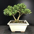 Bonsai Tree Kingsville Boxwood Mame Size 10 Years Old Just 6 5 8 Base tree Top