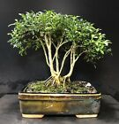 Bonsai Tree Kingsville Boxwood Forest Clump Group 12 Years Old Vintage Pot