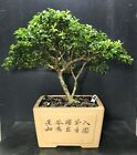 Bonsai Tree Kingsville Boxwood 15 Years Old 10 Tall Quality Chinese Pot