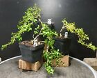 Bonsai Tree Kingsville Boxwood Pre Bonsai Cascade 3 Wire Styled Ready To Pot Up