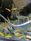 (8) Pseudotropheus Acei Yellow Tail 1 Inch Live Fish African Cichlid mbuna
