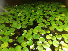 small Amazon frogbitLimnobium laevigatumLive aquarium Aquatic Floating plant