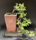 Bonsai Tree Kingsville Boxwood Cascade 8 Years Old Chinese Quality Pot