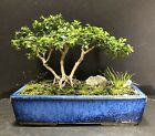 Bonsai Kingsville BoxwoodSaikei Forest 8 Years NEW MCI Japanese Glazed Pot