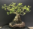 Bonsai Tree Japanese Musk Maple Root Over Rock 11 Tall High Fired Pot ByRovea
