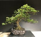 Bonsai Tree Japanese Musk Maple Exposed Roots 15 Tall High Fired Pot By Rovea