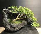 Bonsai Tree Kingsville Boxwood Semi Cascade 24 Years OldKurama Styled Scoop Pot