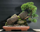 Bonsai Tree Shimpaku Juniper Saikei Windswept 10 1 4 Tall Red Rock Sandstone