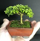 Bonsai Tree Kingsville Boxwood 5 Years Old Hand Size Mame Japanese Pot With Chop