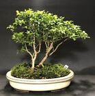 Bonsai Kingsville BoxwoodSaikei Mame Forest 8 Years 3 TreesJapanese Glazed Pot