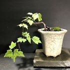 Bonsai Tree Maple Mame Cascade 4 Years Old Native Red Maple Japanese Pot