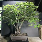 Bonsai Tree Korean Hornbeam Group Planting 21 1 2 Tall Japanese Unglazed Pot