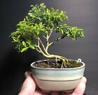 Bonsai Tree Kingsville Boxwood Mame 12 Years 6 1 2 Tall Glazed Japanese Pot