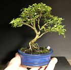 Bonsai Tree Kingsville Boxwood Mame 12 Years 6 3 4 Tall Glazed Japanese Pot