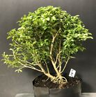 Bonsai Tree Pre Bonsai Kingsville Boxwood 16 Years Old