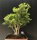 Bonsai Tree Pre Bonsai Kingsville Boxwood 14 Years Old