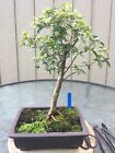 Large Bonsai Trident Maple Acer buergerianum Traditional Brown Unglazed Pot