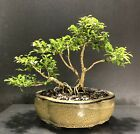 Bonsai Tree Kingsville Boxwood Mame 10 Years Chinese Golden Speckled Glazed Pot
