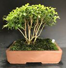 Bonsai Kingsville BoxwoodSaikei Forest Group 9 Years Quality Chinese Pot