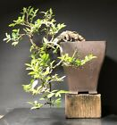 Bonsai Tree Chinese Elm Cascade 9 Years 11 Tall Yixing Zisha Chinese Pot Chop