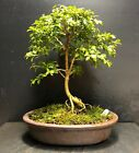 Bonsai Tree Kingsville Boxwood 10 Years Old 8 3 4 Tall Quality Japanese Pot