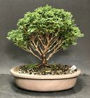 Bonsai Tree Chamaecyparis Pisifera Tsukumo Cypress Mame 12 Years Japanese Pot