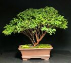 Bonsai Tree Chamaecyparis Pisifera Tsukumo Cypress Mame 14 Years Chinese Pot