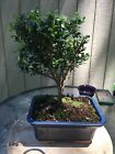 Helleri Holly Ilex Crenata Helleri  Bonsai Tree In Old Blue Glazed Pot