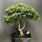 Bonsai Tree Kingsville Boxwood Pre Bonsai 19 Years Old Ready To Pot As Bonsai