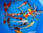 Assorted PREMIUM QUALITY 4 5 Japanese Koi Standard Fin Live Pond Fish