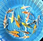 PREMIUM QUALITY 3 Assorted Butterfly Fin Japanese Koi Live Pond Fish