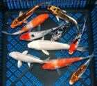 PREMIUM QUALITY 25 3 Assorted Japanese Koi Standard Fin Live Pond Fish