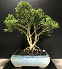 Bonsai Tree Kingsville Boxwood 30 Years From Cutting Japanese Vintage Old Pot