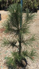 Bonsai Tree Japanese Black Pine Live Plant 48 Tall Great Bonsai Tree