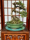 Catlin Chinese Elm Bonsai Tree 1 Trunk Windswept Style 4 Expose Roots