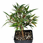 Ficus salicaria Willow Leaf Fig Starter Bonsai Plant