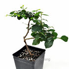 Grewia occidentalis Crossberry Starter Bonsai Plant