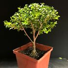 Bonsai Tree Kingsville Boxwood Pre Bonsai 10 Years Old Ready To Pot As Bonsai