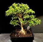 Bonsai Tree Kingsville Boxwood Pre Bonsai 12 Years Old Ready To Pot Up 6 Tall