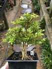 Bonsai Tree Kingsville Boxwood Pre Bonsai Group 14 Years Ready To Pot Up 7 Tall