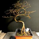 Pre Bonsai Chinese Elm Penjing Wire Styled From Root Cutting Ready To Pot Bonsai