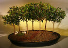 Flowering Brush Cherry Bonsai TreebrSeven Tree Forest Groupbrieugenia