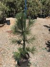 Bonsai Tree Japanese Black Pine Live Plant 52 Tall Great Bonsai Tree