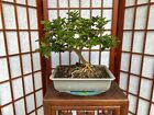 Limeberry Bonsai Tree Nice Slanted Trunk With Great Movement 5Roots Spread