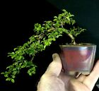 Bonsai Tree Kingsville Boxwood Cascade 525 Tall Quality Chinese Glazed Pot