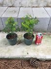 2 Green Japanese Maple Pre Bonsai 3 Year Old Trees
