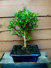 Pepper Bonsai Tree In 15cm Pot Indoor